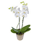 Order flowers to Poland: Orchid in a Pot (other colors available)