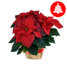 Order flowers to Poland: Classic Red Poinsettia