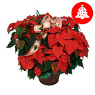 Order flowers to Poland: Big Poinsettia