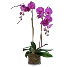 Order flowers to Poland: Orchid for Mum (other colors available)